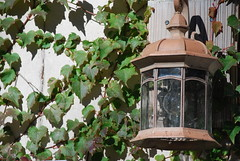Lantern and Boston Ivy