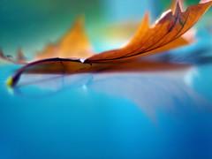 nur ein blatt (~janne) Tags: autumn nature 50mm f14 herbst natur olympus blatt spiegelung schön janusz twtmeiconoftheday summiluxr e520 refkexion ziob