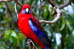 Australia Parrot