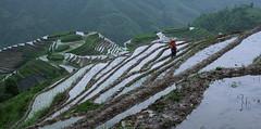 Ping'an Rice Terraces (Exotic Travels) Tags: rice guilin terraces farmer titan longsheng longji pingan jingkeng