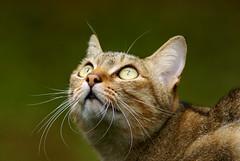 米克斯貓咪 (Fu-yi) Tags: cute animal cat mix sony taiwan lovely mammalia 動物 可愛 植物園 貓咪 formosan 米克斯 福爾摩沙 哺乳類 catnipaddicts hganimalsonly