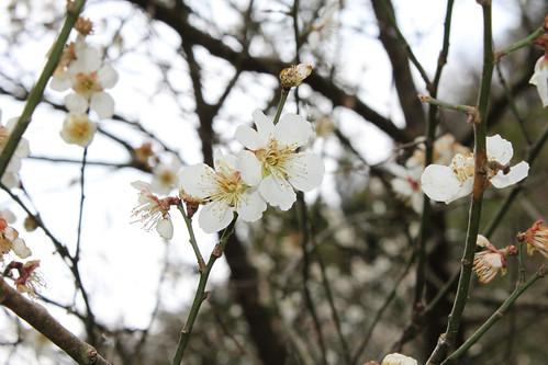 山桜のようなもの