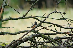 Spotted Towhee, Cook Meadow