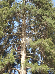 (arborct) Tags: trees hardhat tree pine climb crane connecticut chainsaw ct rope climbing arbor ropes climber removal services whitepine ppe takedown sawdust arborist licensed treeremoval arborists insured quickpick arborservices arborservicesofconnecticut arborservicesofct aquickpick quickpickcrane