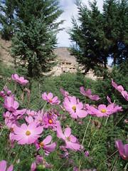 cosmos & houses (alun w) Tags: flowers mountains pine village atlasmountains morocco atlas cosmos pinkflowers highatlas imlil asni moroccanhouse moroccoseptember10