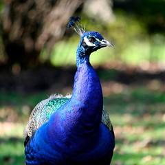 Peacock (craig.dales) Tags: park blue bc peacock victoria beaconhill