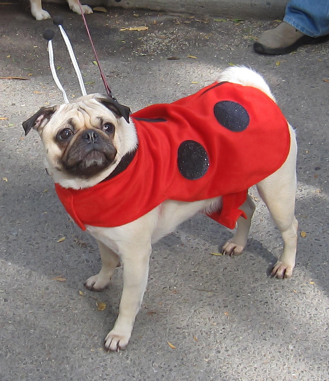 Lady bug pug