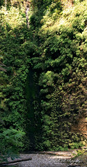 Fern Wall, Prairie Creek Redwood State Park (Michellekiba) Tags: park panorama creek state sonoma roadtrip mendocino redwood prairie fortbragg californiacoast lostcoast hiway1 compositephotos californiaphotographer womeninphotography michellekibaphotography canond50user