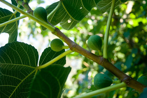 Young green figs