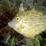 IMG_5462are Planehead Filefish (Stephanolepis hispidus) thumbnail