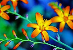 Oh .. Orange ! (xeno(x)) Tags: blue orange orchid macro nature yellow canon garden asia 2010 xeno 5d2