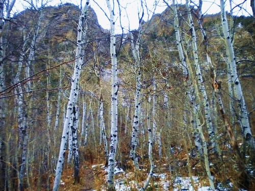 Bosque de Aspen ya sin hojas