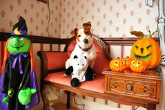 Happy Halloween (JRT ) Tags: wallpaper dog halloween fur jack nose eyes nikon jrt russell ears terrier jackrussell belle paws collar jackrussellterrier d90 brownhead johnwarwood flickrjrt