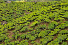 Mun_to_Lockhart_08 (Chris Belsten) Tags: india landscapes highlands kerala hills munnar teacountry