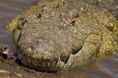 Kenya Safari (Bobonacus) Tags: africa kenya safari crocodile masaimara