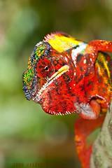 Furcifer pardalis (Thor Hakonsen) Tags: red reptile lizard chameleon madagascar pantherchameleon furciferpardalis nikond700 chamaleonidae