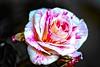 "Scentimental (Jack o' Lantern) Tags: red flower macro art nature fleur rose closeup canon garden photography petals flora perfect blossom bokeh rosa bloom fiore ""my excellence kwiat ""the floribunda themoulinrouge doublefantasy róża arosebyanyothername photos"" ""first ""great ""rose blossoms"" flowerotica ""natures shots"" fantasy"" tea"" petals"" fantasticflower masterphotos photographers"" anawesomeshot ""friends photographer"" ""master diamondclassphotographer finest"" winners"" theunforgettablepictures delightfulroses bestroseshot ""awesome thegardenofzen quality"" ""floral excelentsflowers spiritofphotography ""hybrid ""perfect ""jackolantern"" mindigtopponalwaysontop unforgettableflowerscontest14 exquisitelygorgeousflowers bej"""