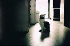 (lauren bowes) Tags: blackandwhite film cat 35mm minolta grain ilford thecatwhoturnedonandoff highqualityanimals