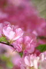 Floating Pinks (bigbrowneyez) Tags: pink brown green nature soft moody dof bokeh blossoms dreamy fading blush floweringalmond canoncamera prettypetals floatingpinks flickrmoody