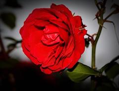 Toda mulher gosta de rosas, e rosas e rosas. Muitas vezes so vermelhas, mas sempre so rosas.  - EXPLORE (Nay Hoffmann) Tags: red verde amor flor rosa vermelha folha paixo buqu sbado caule vinhetagem masterphotos