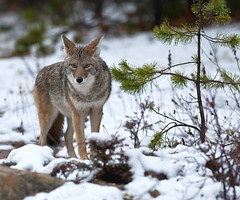 Coyote (Dan Newcomb Photography) Tags: coyote jasper