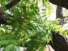 In The Canopy (Velvet Elevator (Pandy Farmer)) Tags: autumn plant tree verde green fall leaves season climb leaf branch branches vert limbs canopy limb treebranches treebranch midori treelimbs treelimb rainbowtree rainbowtreeyear3