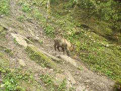 Takin (eMammal) Tags: takin wolong budorcastaxicolor geo:lon=30873 taxonomy:common=takin sequence:index=1 sequence:length=1 otherhoovedmammals taxonomy:group=otherhoovedmammals siwild:study=wolongcameratrapsurvey siwild:studyId=wolongbaitedsets geo:locality=china siwild:plot=wolong siwild:location=lwwl08811a siwild:camDeploy=chinadeploy194 geo:lat=103173 siwild:date=200809230850000 siwild:trigger=wwl08811a01024 siwild:imageid=wwl08811a01024 sequence:id=wwl08811a01024 file:name=wwl08811a01024jpg taxonomy:species=budorcastaxicolor sequence:key=1 siwild:region=china BR:batch=sla0620101119044543 siwild:species=12 file:path=dchinachinacameraimagedigitalafter2008wolongnaturereservewwl08811a01wwl08811a01024jpg
