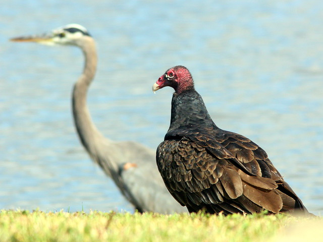 Turkey Vulture 20101114