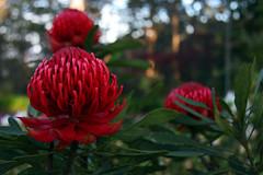 Mt Wilson Waratah (Tim J Keegan) Tags: red flower bush flora vibrant australia bluemountains nsw waratah mtwilson
