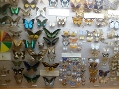 Butterfly Collection (Kevin Bentman) Tags: camera house cute bird art history glass strange birds animal animals shop museum kids butterfly booth insect children skulls lumix weird kid brighton rooms colours adult bright room hove moth victorian feathers butterflies free insects naturalhistory taxidermy collection staff minerals moths bones mineral council local geology skeletons adults effect rare naturalworld radiant diarama compact cases curator dykeroad vibrantcolour boothmuseumofnaturalhistory panasoniclumix gallerys beautifulcolour mrbooth brightonandhovecouncil birdmuseum edwardthomasbooth birdcases brightonandhovegiftshop