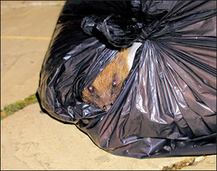Hedgehog (Parishes of the Buzzard) Tags: uk england bag critter olympus rubbish hedgehog milton keynes c4040z
