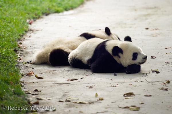 RYALE_Sichuan_Panda_22