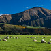 sheep farm in New Zealand