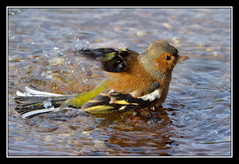 Chaffinch (Full Moon Images) Tags: bird nature bath wildlife sandy bedfordshire reserve bathing washing chaffinch rspb