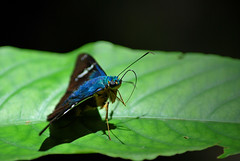 039 - Añil (Mr. Theklan) Tags: blue macro azul butterfly mexico makro mariposa chiapas chiflon urdina tximeleta pinpilinpauxa mitxoleta