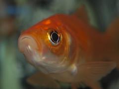 fish toronto ontario canada gold aquarium tank goldfish fishy