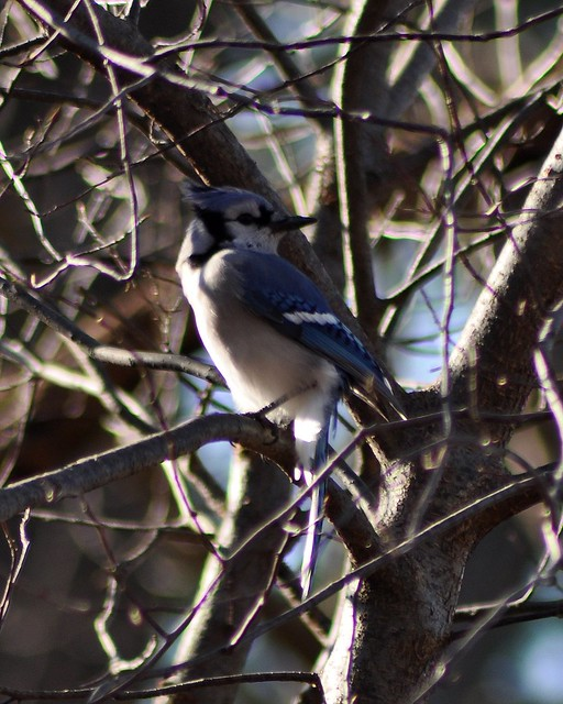 Blue Jay by Tina M Turner