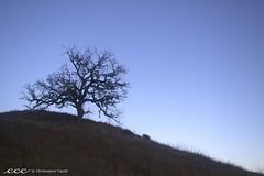 USA-California / Oak Tree Silhouette (Les Yeux Heureux) Tags: california blue winter usa brown tree grass silhouette america canon oak raw hill crest clear gnarly northamerica dried santamonicamountains amerika  malibucreekstatepark amrique  ameryka   50d m    lesyeuxheureux christophercasilli lptrees
