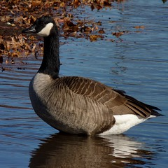 Canada Goose (Dendroica cerulea) Tags: autumn reflection water birds newjersey pond nj aves highlandpark canadagoose brantacanadensis waterbirds anatidae anseriformes middlesexcounty donaldsonpark