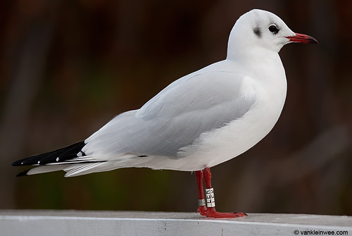 Black-headed Gull, adult, W[LEK]