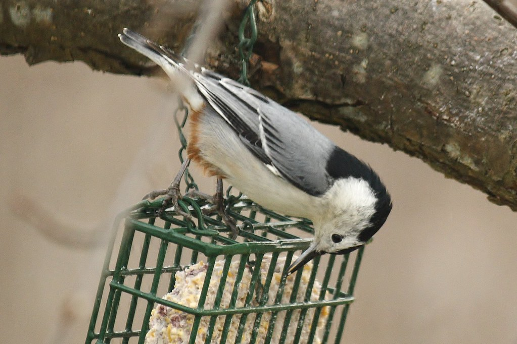 White-breasted nuthatch (8)