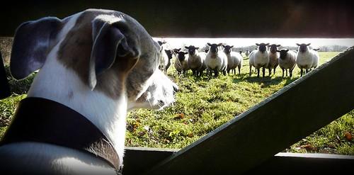 Fred vs Sheep