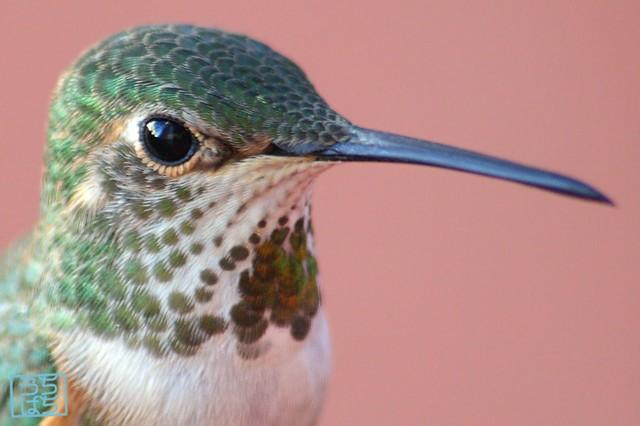 Allen's Hummingbird 112610