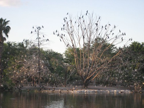Tree full of Cormorants and Egrets