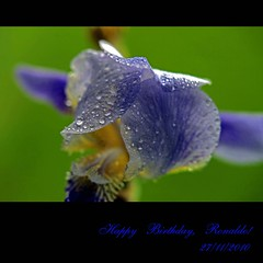 Happy Birthday, Ron! (JannaPham) Tags: birthday blue iris flower water dedication fauna canon happy perception droplets flora friendship russia moscow drop vietnam ron 5d essence ronaldo markii thirdlife canon5dmarkii jannapham firstofall redmatrix