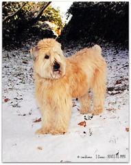 Sophie in the snow - Winter 2010/2011 (zweiblumen) Tags: winter dog pet shropshire sophie wheatenterrier picnik astonhill ndfilter tamron28300mm canoneos50d zweiblumen churchaston canon430exii