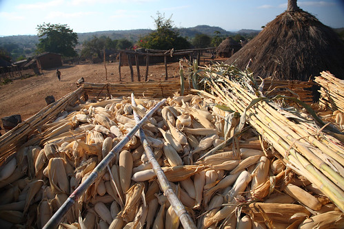 Maize farming in Mozambique