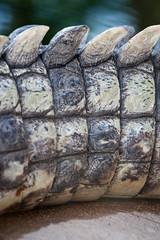 2011-02-03-15h09m06.272P7839 (A.J. Haverkamp) Tags: zoo rotterdam blijdorp dierentuin diergaardeblijdorp nilecrocodile nijlkrokodil crocodylusniloticus canonef70200mmf28lisusmlens httpwwwdiergaardeblijdorpnl