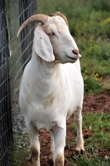 Mr. Goat.... (catherine4077) Tags: goat farm outdoors pigsanimalsanctuary sanctuary animal shepherdstown westvirginia
