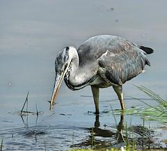 Grey Heron ( Gotcha you little Beggar) (Bogger3.) Tags: greyheron venuspool dullday caughtafish canon600d tamron150x600lens fullzoom coth coth5